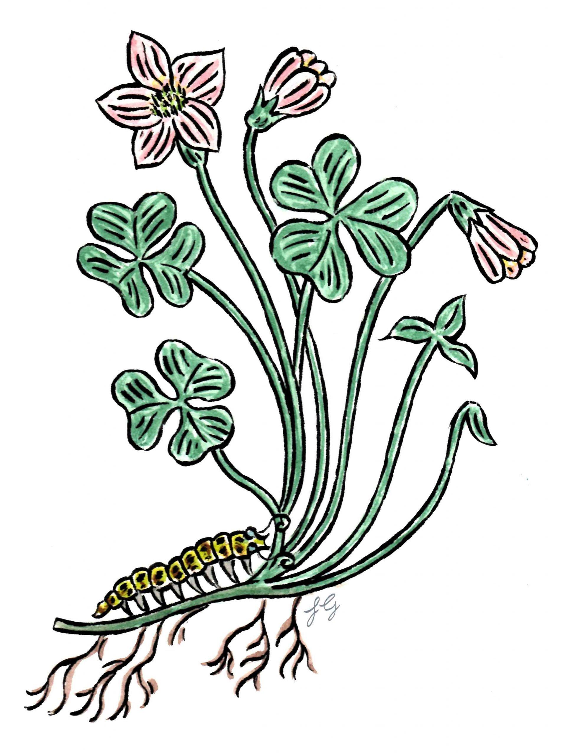 drawing of wood sorrel and caterpillar