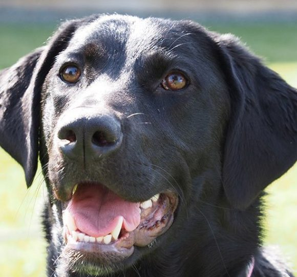 Brown Labrador dog - we are a pet friendly hotel