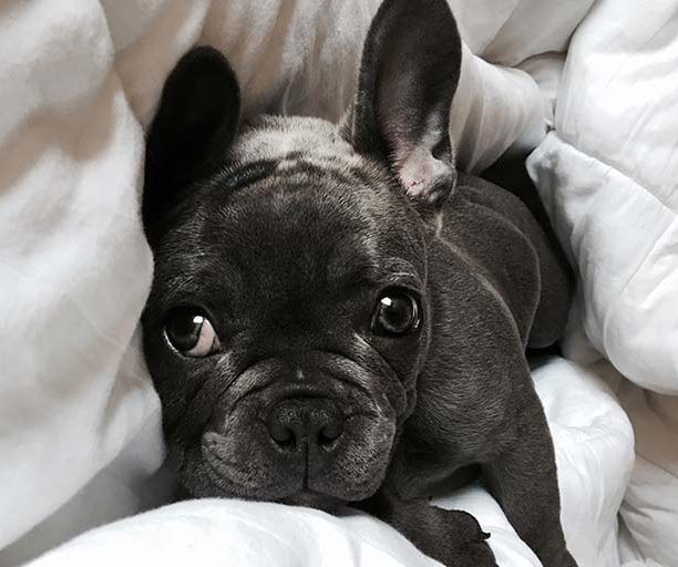 French Bulldog resting