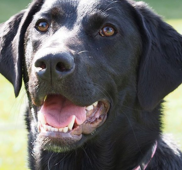 face of labrador retriever