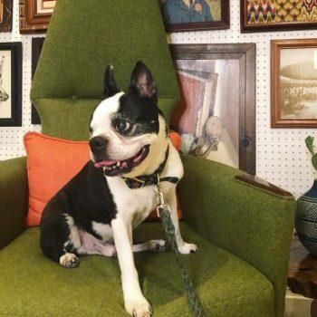 boston terrier sitting on an arm chair