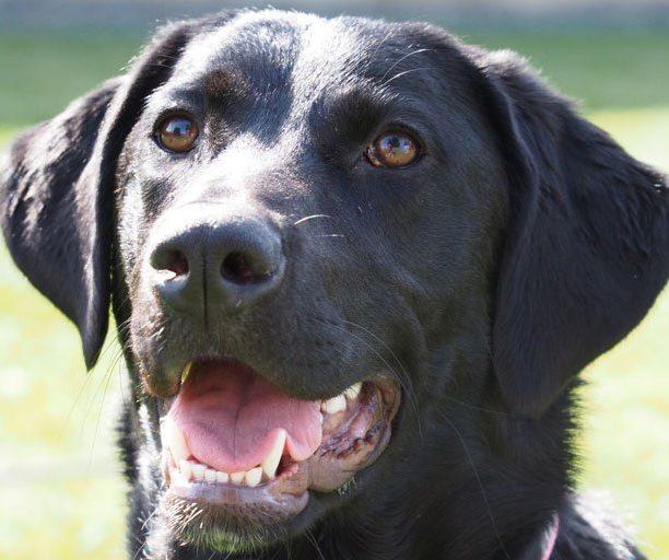 A happy black dog